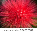 Red Powderpuff Flower Blooming...