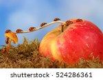 closeup many little ladybugs...   Shutterstock . vector #524286361