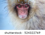 Japanese Snow Monkey Macaque I...
