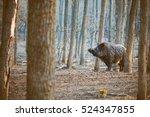 Wild Boar  Sus Scofa