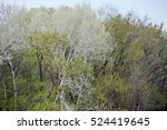 White Branches Of A Poplar...