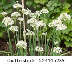 Small photo of Garlic Chives (Allium tuberosum) on an Allotment in a Vegetable Garden in Rural Devon, England, UK