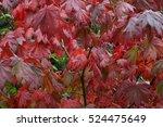 Small photo of Acer japonicum 'Vitifolium'