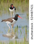Small photo of American Oystercatcher in blue water