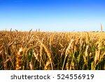 Golden Ripe Wheat Ears