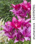 beautiful lily flowers in the... | Shutterstock . vector #524590981
