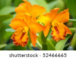 Orange Orchid Cattleya Close Up