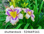 Multicolored Daylilies ...