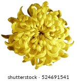 chrysanthemum yellow brown... | Shutterstock . vector #524691541