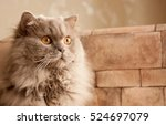 Cat  Lilac British Longhair