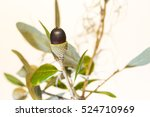 Small photo of Live oak tree acorn nut seed macro close up on white background