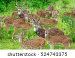 Spotted Deer Chital Or Cheetal...