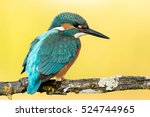 Kingfisher Bird Preening On A...
