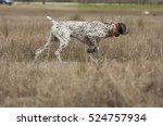 german shorthaired pointer dog... | Shutterstock . vector #524757934