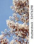 Small photo of blossoms of amelanchier in spring
