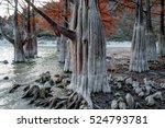 fairy red cypress tree wood...   Shutterstock . vector #524793781