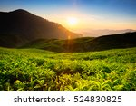 tea plantation in cameron... | Shutterstock . vector #524830825