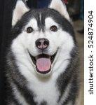 black and white husky   Shutterstock . vector #524874904