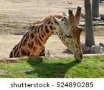 A Hungry Giraffe Lowers Its...