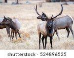 a bull elk bugles a challenger...   Shutterstock . vector #524896525