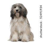tibetan terrier  1 year old ... | Shutterstock . vector #52491934