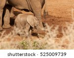 Newborn Elephant Staying Close...