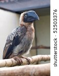 Small photo of African Grey Hornbill