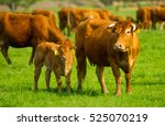 Limousin Beef Cattle In A...