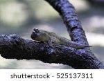 Mudskipper Or Amphibious Fish...