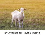 Little White Goat With A Funny...