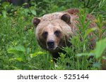 Grizzly in Forest Undergrowth - stock photo