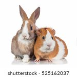 Stock photo little dwarf rabbit with guinea pig isolated on white 525162037