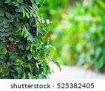 The Leaf Of Ivy Covering On Th...