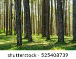 pine trunk in the forest and... | Shutterstock . vector #525408739