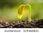 seedling agriculture and new... | Shutterstock . vector #525460831