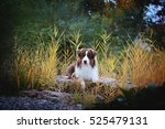 australian shephered | Shutterstock . vector #525479131