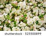 apple tree in full bloom in...   Shutterstock . vector #525500899