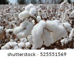 southern snow cotton | Shutterstock . vector #525551569