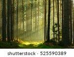 footpath through spruce tree... | Shutterstock . vector #525590389