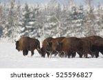 Mammals   European Bison  Biso...
