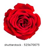 rose isolated on the white... | Shutterstock . vector #525670075