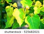 buddha leaves | Shutterstock . vector #525682021