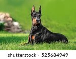 Doberman Dog Relaxing On Green...