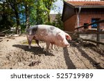 domestic pig. big pig. pig on a ... | Shutterstock . vector #525719989