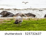 Small photo of Earthbound is about a lone seagull who is grounded to the seashore while his fellow gulls enjoy the thrills of flight over the ocean.