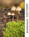 Small photo of little mushrooms group (Psilocybe pelliculosa) on trunk