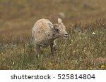 Bighorn Lamb On Mt. Washburn In ...