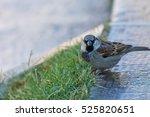 the house sparrow  passer... | Shutterstock . vector #525820651