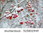 Snow Covered Winter Berries On...