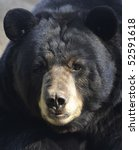 American Black Bear Male Adult...